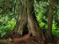 The great hollow cedar
