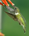 Ruby throated Hummingbird gathering nectar from Cuphia flowers.