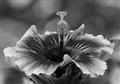 Hibiscus (B&W)