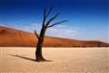 Dead Vlei Lone Tree Sossusvlei Namibia