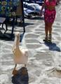 The Pelican of Mykonos