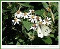 Cabbage white on Olearia