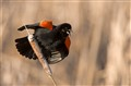 Redwing Blackbird's territorial song