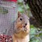 Squirrel 0272