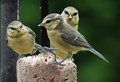 Three fledgling