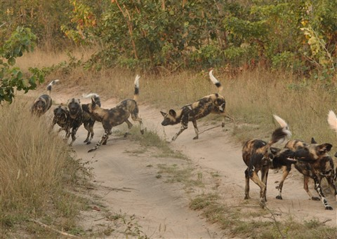 African Wild Dogs playing before hunt starts