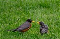 Mama feeding Baby bird