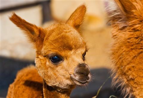 Baby Alpaca, Martha's Vinyard