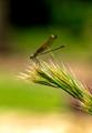Reddish Dragonfly