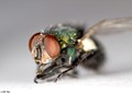 Bottle Fly II