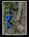 Steller Jay - Capulin Springs, NM