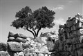 Olive Tree on Mycenaean Ruin
