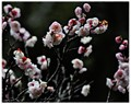 Japanese plum tree blossom