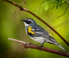 Yellow rumpled warbler