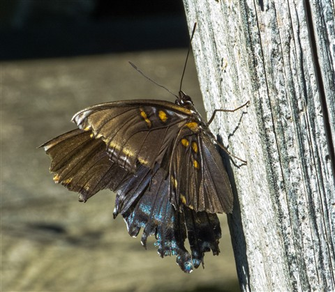 Purple Swallowtail 1