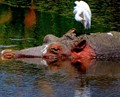 Hippo and Cattle egret