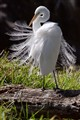 Great Egret, breeding plumage