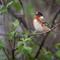 Bay-breasted Warbler-