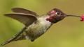 Male Rufus Hummingbird