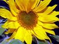 Home sunflower