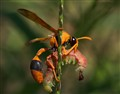 Orange Potter Wasp - Eumenes latreilli
