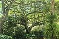 Monkeypod Lush Greenery