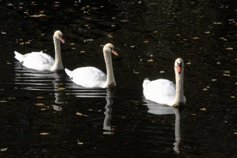3_Swans_small01