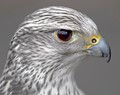 Falcon shades of grey