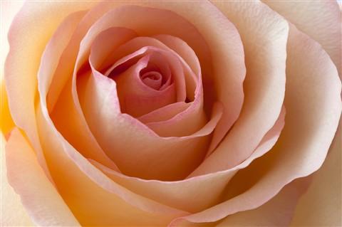 Rose_CloseUp