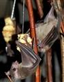 Hungry Bats