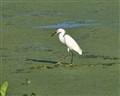 egretswamp