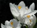 DSC_0123 White Crocus