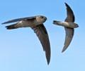 Glossy Swiftlets in Flight