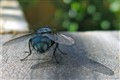 Hairy Blue Fly