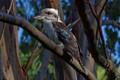 Kookaburra sits on the old gum tree