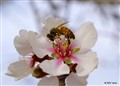 Bee on almond flower