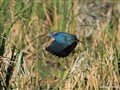 Purple Moorhen 2