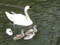 Swans_cr2