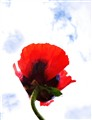 red poppy and sky