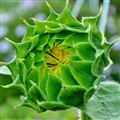 Sunflower unfolding