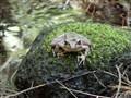 Frog Sage