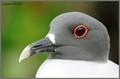 Galapagos Gull, 2013