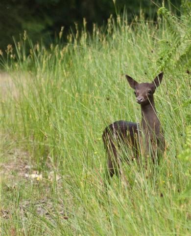 Melanistic fallow deer, Haldon