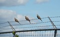 Security Fence With Three Mourning Doves