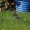 Female Blackbird - EXR HR MODE after update (30x)