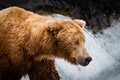 Brown bear (Ursus arctos) at Brooks Falls