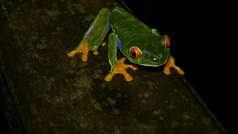 Red Eye Tree Frog from Caribbean Costa Rica