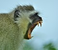 Vervet Monkey (The agressive side)