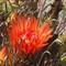 Fish hook barrel cactus blossom