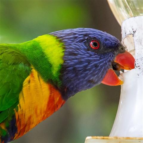 Rainbow Lorikette